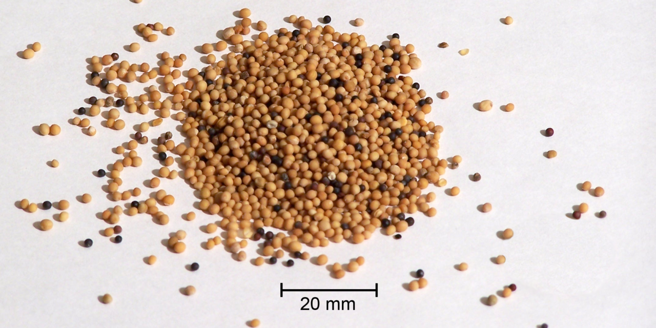 Anatomy of a Mustard Seed (Luke 17 1-10)